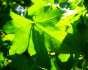 foglie_vite